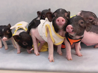 豬豬快跑Running Piggy