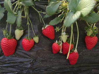 绿色厨房草莓采摘园