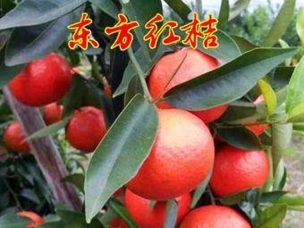 江永橘子园