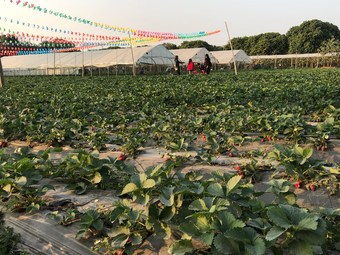 黄沙水库生态草莓园(大坝村采摘基地)