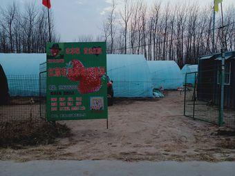 红颜有机草莓采摘园