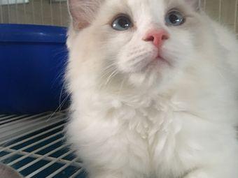 成龙布偶猫舍