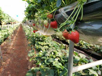 丹丹草莓园